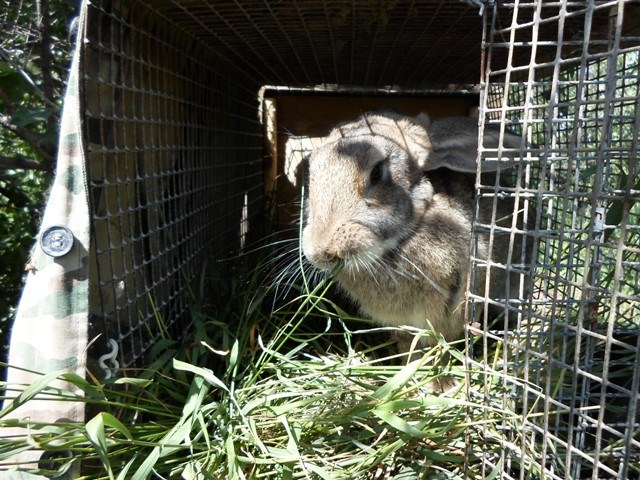 кролик, домашний кролик