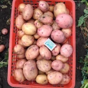Картошка деревенская свежая